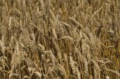 A field of ripe wheat at sunny summer day — Stock Photo