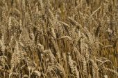 Field of ripe wheat at sunny summer day — Stock Photo