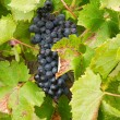 Bunches of red grapes growing in the vineyard — Stock Photo #54322519
