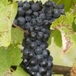 Bunches of red grapes growing in the vineyard. — Stock Photo #55130279