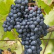 Bunches of red grapes growing in a vineyard — Stock Photo #55130297