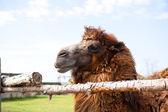 Camel on the farm  — Stock Photo