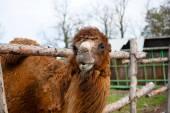 Velbloud na farmě — Stock fotografie