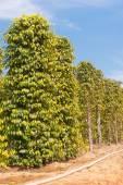 Jardín de pimienta — Foto de Stock