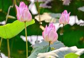 Wild lotuses — Stock Photo