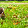 Grey squirrel in autumn park — Stok fotoğraf #57589291