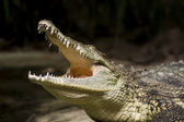 Crocodile and wild life — Stock Photo
