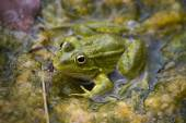 Green Frog in the River — Stock Photo