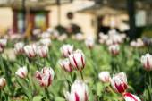 White and red tulips — Stock Photo
