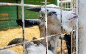 Zoo sad Goat — Стоковое фото