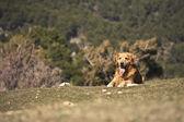 Портрет собаки в открытом, Золотой — Стоковое фото