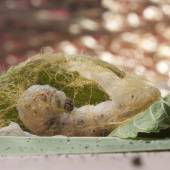 Silkworm make cocoon on Green Mulberry Leaf — Stock Photo