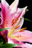 Macro of lily flower — Stock Photo