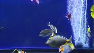 Various fishes swimming in aquarium with pump — Stock Video