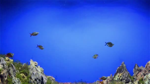 Fishes swimming in aquarium with fasle hill in bottom — Vídeo de stock