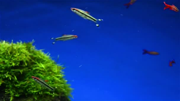 Fishes and seaweed in aquarium — Vídeo de stock