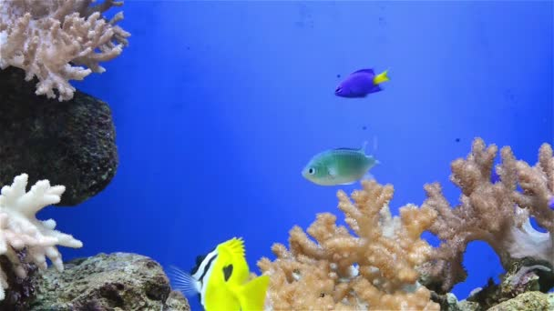 Coral en acuario y peces tripical — Vídeo de stock