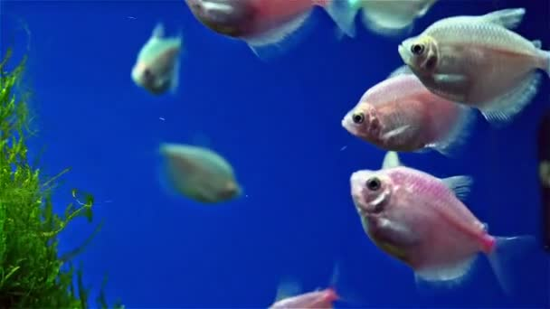 Fishes swimming in tank with seaweed — Vídeo de stock