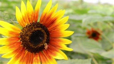Honey Bee in Sunflower Field — Stock Video