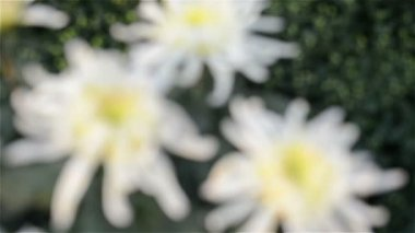 White chrysanthemum come into focus — Stock Video