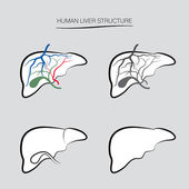 Human liver structure. — Stock Vector