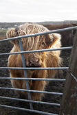 Young Highland Cattle — Stock Photo