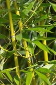 Bamboebos — Stockfoto