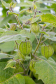 Cape gooseberry — Stock Photo