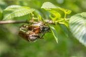 Cockchafer on a branch — Stock Photo