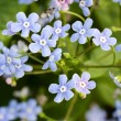 Forget-me-nots flowers background. Close up. Selective focus, so — Stock Photo #52612347