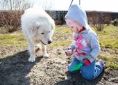 Little cute toddler girl playing with her big white shepherd dog — Photo