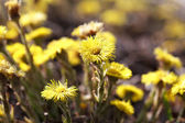 Tussilago farfara, commonly known as Coltsfoot, plant in the fam — Stock Photo