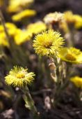 Primrose Tussilago farfara, commonly known as Coltsfoot, plant i — Stock Photo