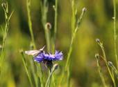Small white butterfly is drinking nectar from a flower cornflowe — Stock Photo