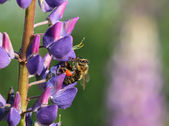 Honey bee of the garden on a purple lupine flower, macro, select — Stockfoto