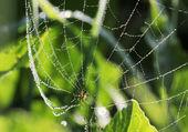 Cruz araña (araneus diadematus) en web con gotas de rocío, selectiv — Foto de Stock
