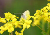 White butterfly (Pieris brassicae) on a wild yellow flowers, sel — Stock Photo
