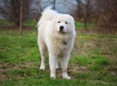 Maremma or Abruzzese patrol dog standing on the grass in the gar — Foto de Stock
