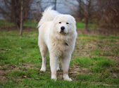 Maremma or Abruzzese patrol dog standing on the grass in the gar — Stock Photo