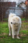 Maremma or Abruzzese white patrol dog standing on the grass in t — Stock Photo
