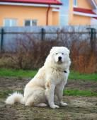 Maremma or Abruzzese patrol dog sitting on the grass in the gard — Stock Photo