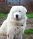 Maremma or Abruzzese patrol dog sitting on the grass in the gard — Foto de Stock