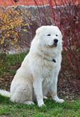 Maremma or Abruzzese patrol dog sitting near a bush on the grass — Stock Photo