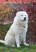 Maremma or Abruzzese patrol dog sitting near a bush on the grass — Stock Photo