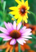 Blooming medicinal herb echinacea purpurea or coneflower, close- — Stock Photo