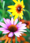 Blooming medicinal herb echinacea purpurea or coneflower, close- — Stock Photo