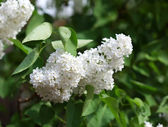 Full-blown white lilac in the garden — Stock Photo