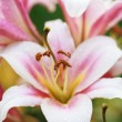 Pink lilies after the rain, selective focus on the stamens, macr — Stock Photo #52628069