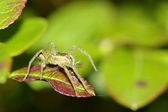Raft spider, dolomedes fimbriatus with prey on green leaf, macro — Stock Photo