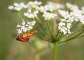 A pair of common red soldier beetles (Rhagonycha fulva) mating,  — Stock Photo